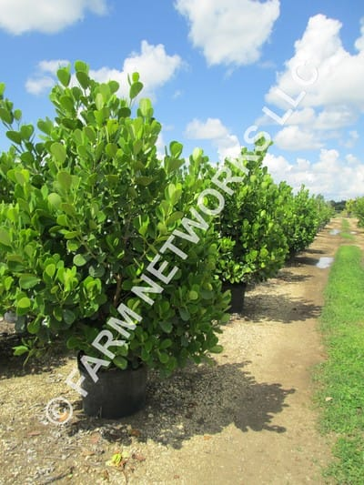 Small Leaf Clusia For Sale 786 255 2832 Clusia For Sale